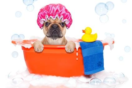 お風呂でくつろぐブルドッグ