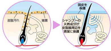 頭皮と毛根の断面図「シャンプーの天然成分が皮脂腺周辺を清潔に保護