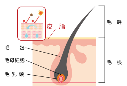 毛根と頭皮のイラスト断面図