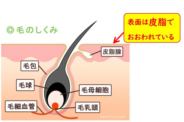 皮膚断面イラスト。毛穴の仕組み。表面は皮脂でおおわれている